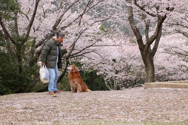 播磨中央公園の桜 178