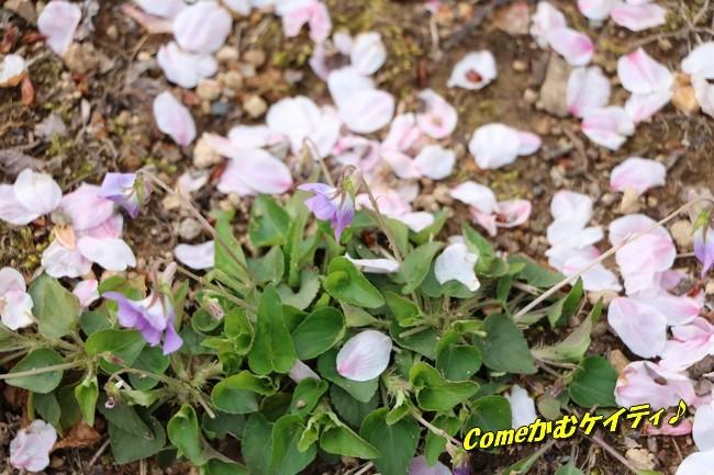 播磨中央公園の桜 238