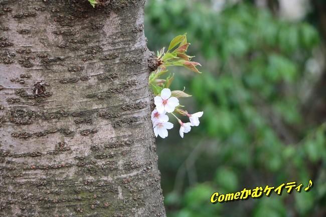 播磨中央公園の桜 260