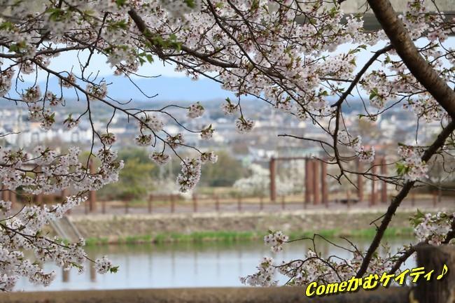 播磨中央公園の桜 349