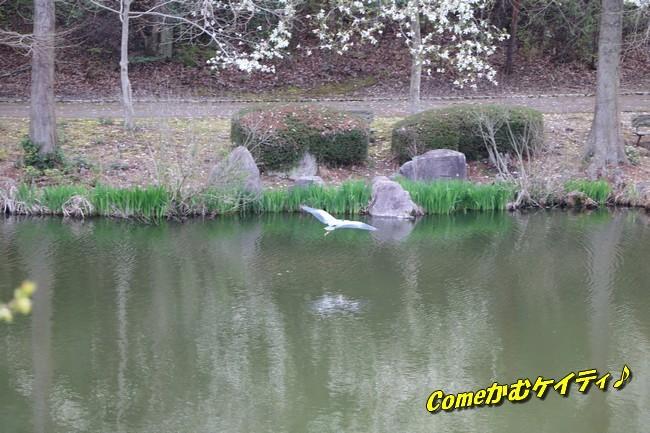 播磨中央公園の桜 352