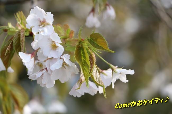 播磨中央公園の桜 365