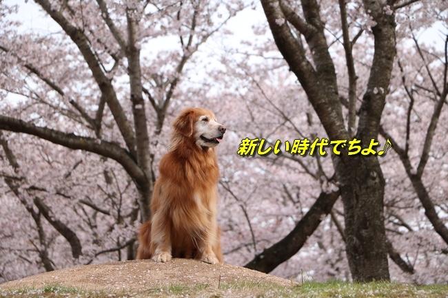 播磨中央公園の桜 127