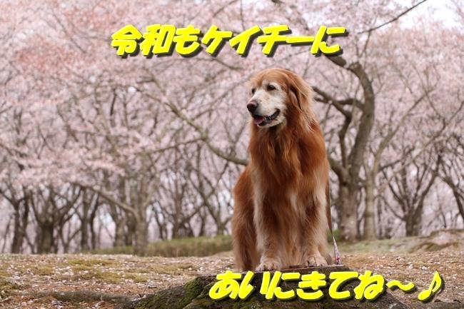 播磨中央公園の桜 164