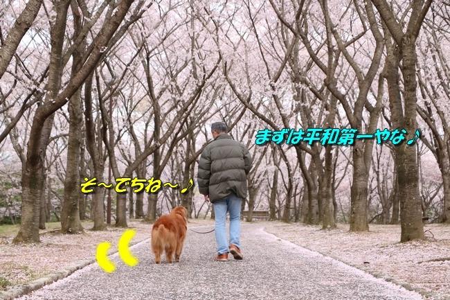 播磨中央公園の桜 193