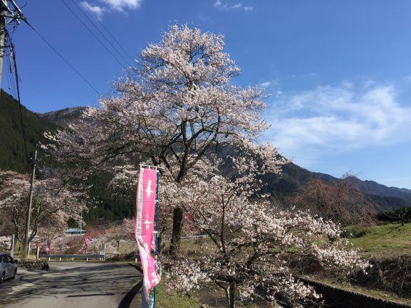 道中にも桜