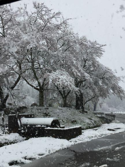桜も雪まみれ