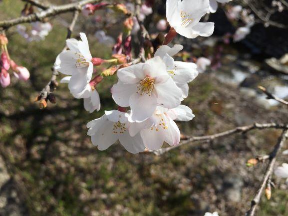 桜 薄い色