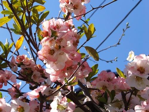 桜偵察12