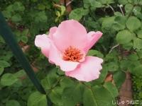 デンティベス開花