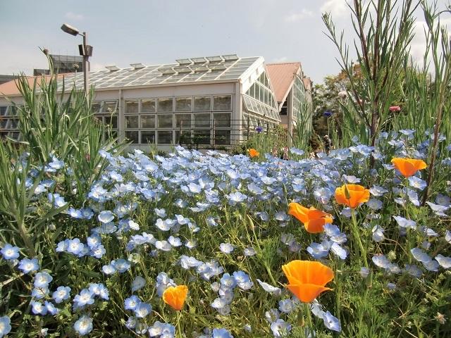 満開のネモフィラ花壇