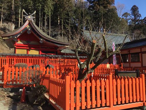 20190309 金櫻神社 鬱金ん桜と八重桜 (2)