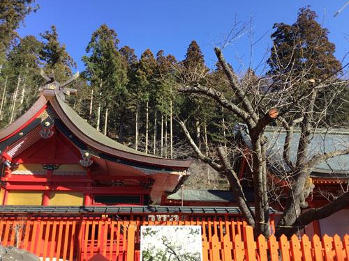 20190309 金櫻神社 鬱金ん桜と八重桜 (1)