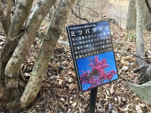 20190317 天鼓林のミツバツツジ (3)