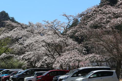 20190413市営駐車場の桜 (2)