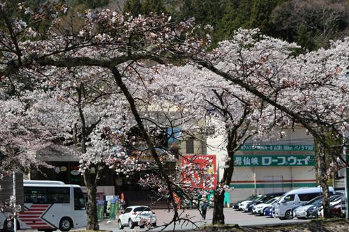 20190413市営駐車場の桜 (1)