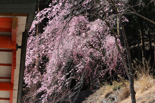 20190413 金櫻神社の桜 (2)