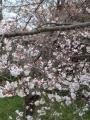 桜2019-4