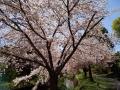 桜2019-10