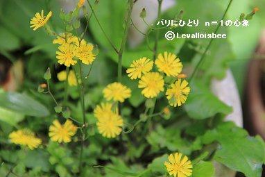 庭の雑草タビラコREVdownsize