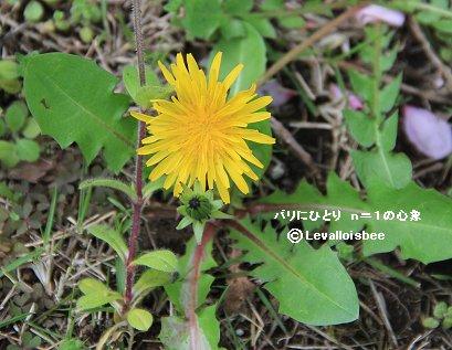 庭の雑草タンポポREVdownsize