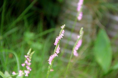 庭の雑草ネジバナdownsize