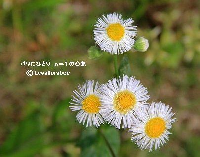庭の雑草ヒメジオンREVdownsize