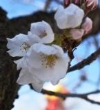開花 (4)