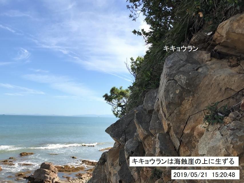 海食崖の上に生ずるキキョウラン