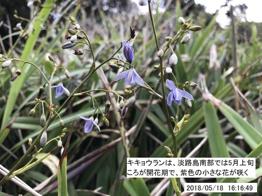 キキョウランは淡路島南部では5月上旬ころが開花期
