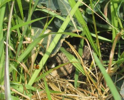 キジの巣ごもり (4)