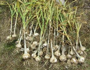 ニンニク収穫時 (2)