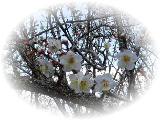 20190401 2月6日の梅の花