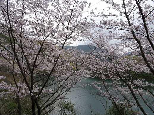 20190401 ダム湖の桜