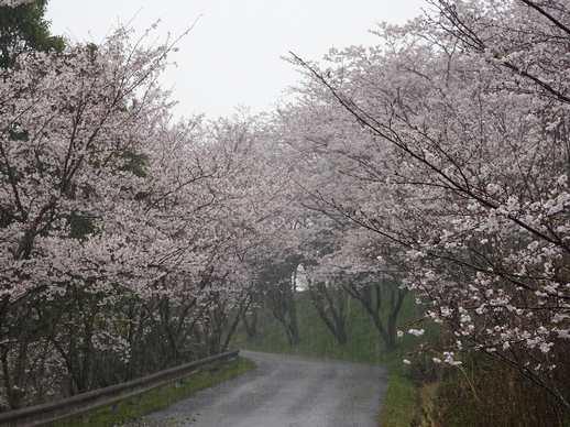 20190401 桜の通学路