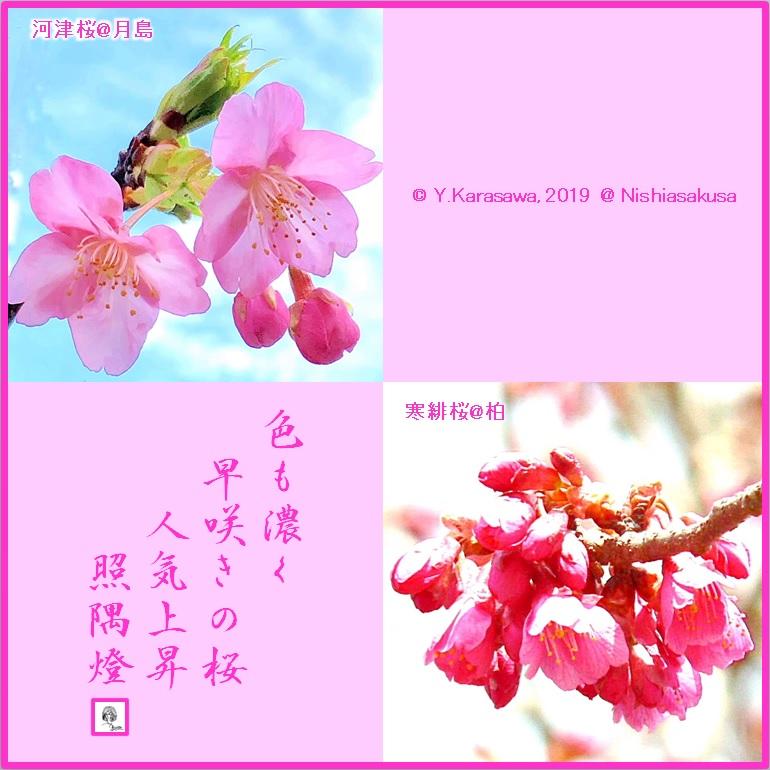 190406早咲きの桜LRG