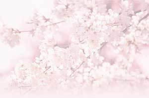 sakura-as.jpg