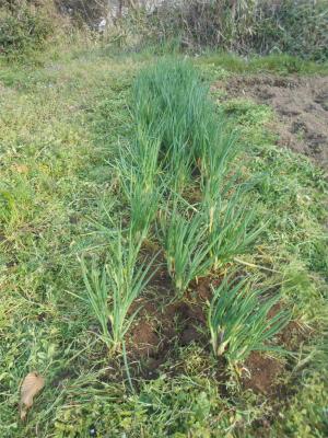310303分葱の草取りと施肥