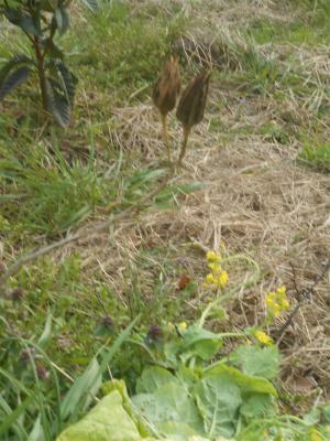 310321ハナオクラの種
