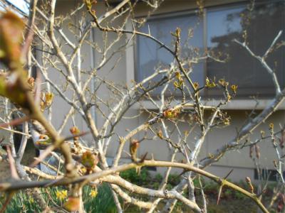 310322山椒の若芽