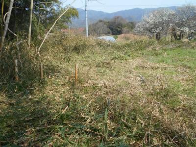 3103篠竹刈り3