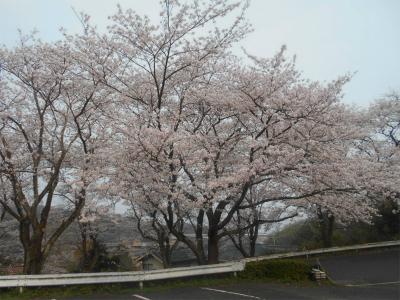 310407桜満開