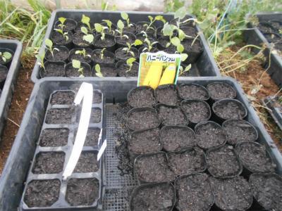 310407トウモロコシの種蒔き