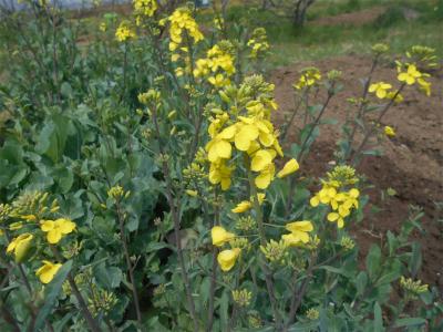 310412のらぼう菜の花
