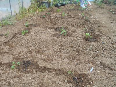 310419トマト定植