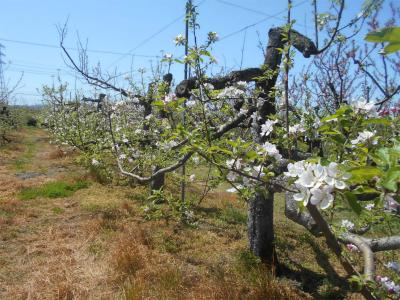 310420リンゴの花