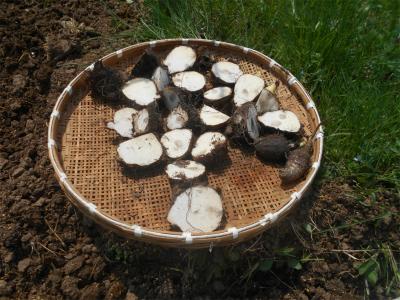 310421親芋の乾燥