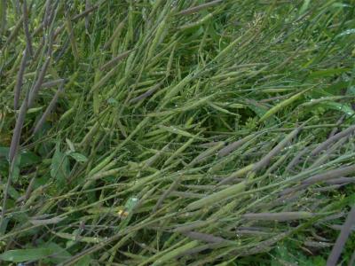 310426紅菜苔のタネ