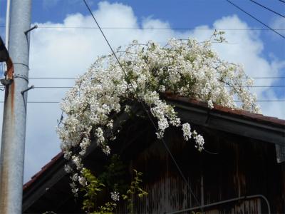 310427屋根の上のフジの花