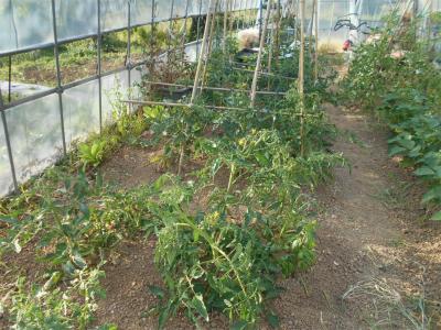 010530ハウスのトマト1